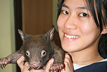 Baby wombat survives car accident