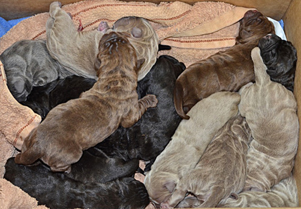 Dee Dee, one of Dr. Bek's own Neapolitan Mastiffs, gives birth to 13 beautiful puppies
