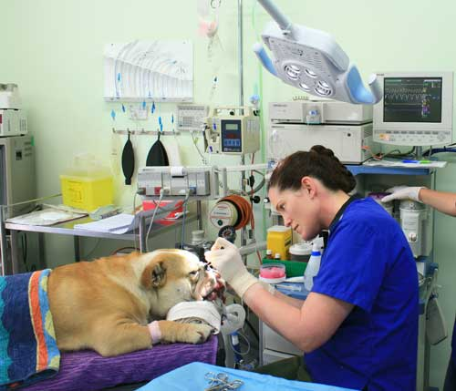 Dr. Bek performs delicate and complex surgery on Major, a British Bulldog suffering from Brachycephalic Airway Syndrome. This kind of surgery can only be carried out in fully equipped operating theatres.