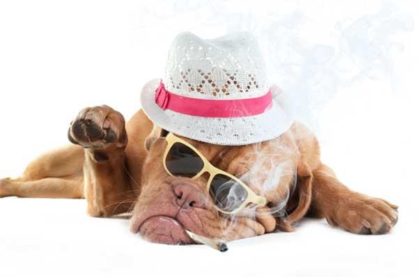 Cool dude dog, smoking pot (photoshopped).