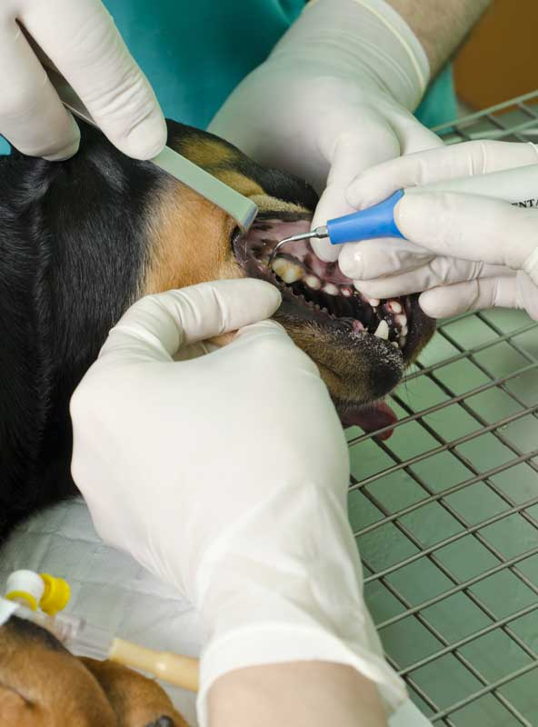 Treating a dog in the dental surgery at Alpine Animal Doctors