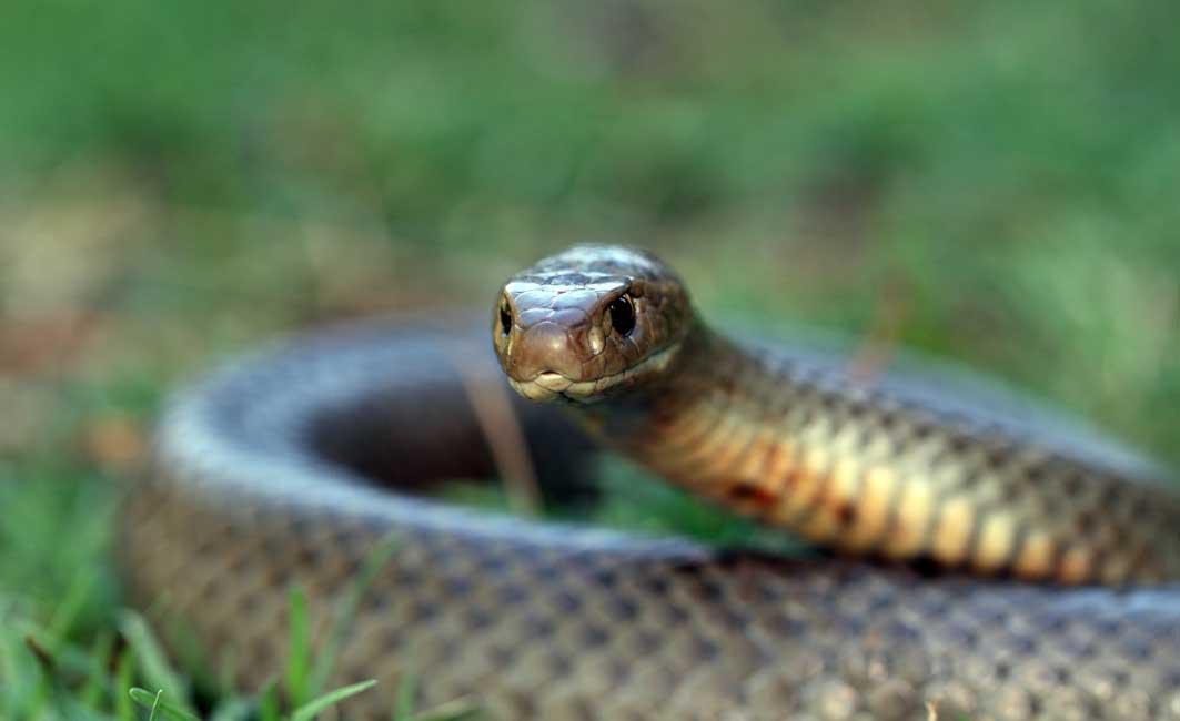 Snake bite: Symptoms and treatment